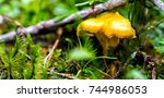 cantharellus cibarius  commonly ... | Shutterstock . vector #744986053