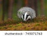 wild badger  meles meles ... | Shutterstock . vector #745071763