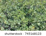 fig tree close up with branches ... | Shutterstock . vector #745168123