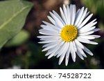 White Daisy Macro With Pollen...