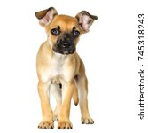 puppy half breed of boxer and... | Shutterstock . vector #745318243