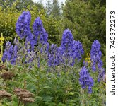Small photo of Aconitum carmichaelii 'Arendsii' (Monkshood) in a Country Cottage Garden in Rural Devon, England, UK