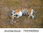 tiger playing with her cub | Shutterstock . vector #745540003