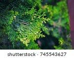 cedar tree  cedar tree ... | Shutterstock . vector #745543627