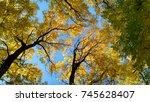 Acacia Trees   Autumn Forest I...