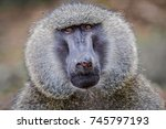 male baboon with damaged nose   ... | Shutterstock . vector #745797193