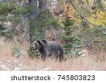 a magnificent boar grizzly bear ... | Shutterstock . vector #745803823