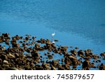 Small photo of A beautiful little egret on the adage of a coastal lagoon in Pico Island, Azores.