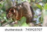 Ringtail Possum Is An...