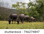 Small photo of A grope of Water buffalos (Thai domestic animal) eating plants in the meadow in Chiangmai province,Thailand