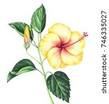 Yellow Hibiscus With Leaves An...