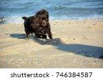 boykin spaniel puppy vigorously ... | Shutterstock . vector #746384587