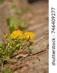 Dandelion Flower   Taraxacum ...