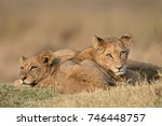 two lion cubs in the early... | Shutterstock . vector #746448757