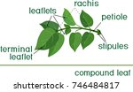 structure of compound plant... | Shutterstock .eps vector #746484817