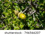 Small photo of acorn nut plant tree hidden into the woods