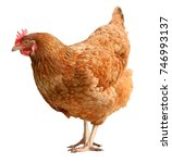 brown hen isolated on white... | Shutterstock . vector #746993137