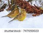 yellowhammer of snow looking... | Shutterstock . vector #747050023