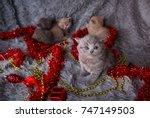 Stock photo british beautiful kittens beautiful kitten british kittens new year s british kittens 747149503