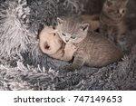 Stock photo british kittens are played british kitten is lilac and blue british kittens are hugging british 747149653