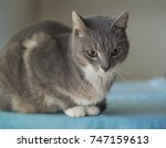 close up cute gray somali cat... | Shutterstock . vector #747159613