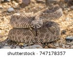 Wild Rattlesnake Coiled Up In...