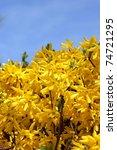 Forsythia Bush Flowers Against...
