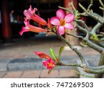 Close Up Of Impala Lily  Pink...