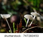 Small photo of Micro white mashroom,Collybia cirrhata is a species of fungus in the Tricholomataceae
