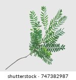 tamarind leaves isolated on... | Shutterstock . vector #747382987