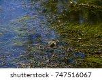 frog in swamp   Shutterstock . vector #747516067