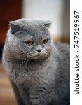 Stock photo scottish folded cat gray 747519967