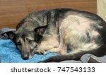 miserable dog   Shutterstock . vector #747543133