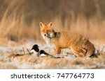 mammals   european red fox ... | Shutterstock . vector #747764773