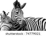 Zebra Black And White Portrait...