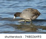 American Coot Walking In Water