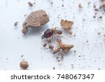 Small photo of soldier termite (Isoptera) with soil macro shot and on glass background. Termites are eusocial insects that are classified at the taxonomic rank of infraorder Isoptera, or as epifamily Termitoidae
