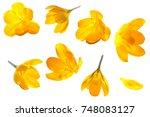 crocus yellow flower isolated...   Shutterstock . vector #748083127