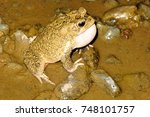 Small photo of Callers male toads Amietophrynus mauritanicus river Morocco