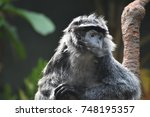 Javan Lutungs Are Also Known A...
