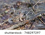 Small photo of Toad in the early spring in the wood. Bufonidae. Anura Family.