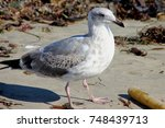 california gull along santa... | Shutterstock . vector #748439713