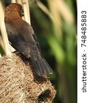 Small photo of Thick billed weaver (Male)