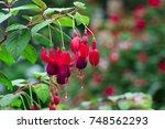 Image Of Beautiful Fuchsia...