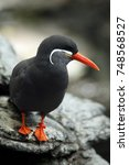 Small photo of The Inca tern (Larosterna inca) sitting on the black rock in the shore