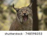 lynx lynx    Shutterstock . vector #748598353