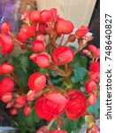 Small photo of Begonia is a genus o perennial flouerin plants in the faimily Begoniaceae. The genus contains aboot 1,400 different plant species. The Begonias are native tae moist subtropical an tropical climates.