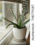 Aloe Vera House Plant