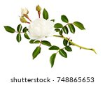twig of garden rose flower ... | Shutterstock . vector #748865653