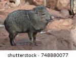 adorable javelina boar standing ... | Shutterstock . vector #748880077